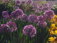 Allium 'Serendipity' PPAF (Ornamental Onion)