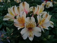 An awesome Alstroemeria (Annual)...