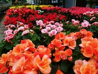 Some of our Hiemalis Begonia...