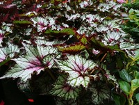 Begonia 'Dibs Cherry Mint' (Rex Begonia, Annual)
