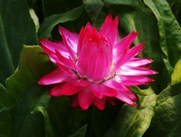 Bracteantha 'Mohave Dark Rose' (Strawflower, Annual)