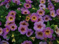 Calibrachoa 'Blueberry Scone' (Annual)