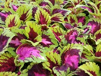 The attractive foliage of Kong Coleus (Annual)