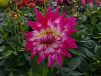 A small sampling of some Dahlia varieties...