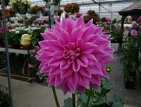 Just one of many Dinner-Plate style Dahlia (Annual)...