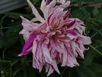 Some more Dinner-Plate Dahlia available...