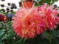 A few of our Dinner Plate Dahlia...