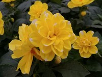 Dahlia 'Starsister Yellow Stripe' (Annual)
