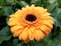 A few outstanding Gerbera Daisy (Annual)
