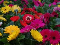 Always a nice supply of Gerbera Daisy (Annual)...