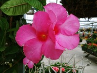 The perfect pink of a Mandevilla...