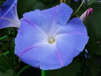 Absolutely glorious Morning Glory (Annual)