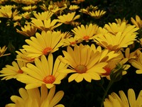 Osteospermum 'Voltage Yellow' (African or Cape Daisy, Annual)