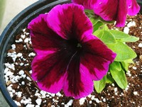 Our selection of Hybrid Petunia continues to grow...