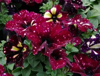 Petunia 'Headliner Starry Sky Burgundy' (Annual)