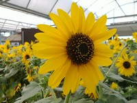 More of our Sunfinity Sunflowers spreading sunshine in the greenhouse...