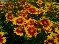 Coreopsis 'Uptick Gold & Bronze' PPAF (Tickseed)