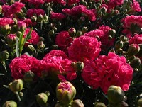 Dianthus 'Raspberry Ruffles' PPAF (Pinks)