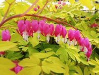Dicentra spectablis 'Gold Heart' (Old-Fashioned Bleeding Heart)