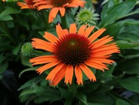 Echinacea 'Butterfly Orange Skipper' PPAF (Coneflower)