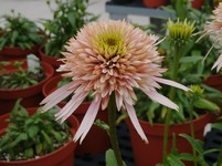Echinacea 'Cherry Fluff' PPAF (Coneflower)