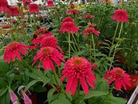 Echinacea 'Double Scoop Cranberry' PPAF (Coneflower)