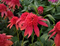 Echinacea 'Double Scoop Mandarin' PPAF (Coneflower)