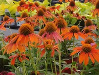 Echinacea 'Sombrero Adobe Orange' PP26639 (Coneflower)