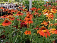 Echinacea 'Sombrero Flamenco Orange' PPAF (Coneflower)