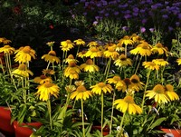 Echinacea 'Sombrero Lemon Yellow' PPAF (Coneflower)