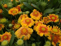 Gaillardia 'Arizona Apricot' (Blanket Flower)