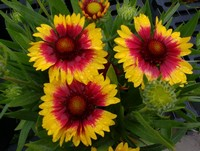 Gaillardia 'Sunset Mexican' PPAF (Blanket Flower)
