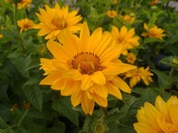 Heliopsis helianthoides 'Tuscan Sun' PP18763 (False Sunflower)