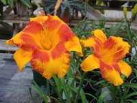 Hemerocallis 'Adorable Tiger' (Daylily)