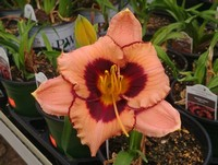 Hemerocallis 'Hungry Eyes' (Daylily)