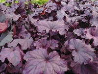 Heuchera 'Forever Purple' PP26358 (Coral Bells)