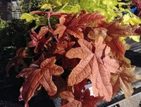 Heucherella 'Red Rover' PP28751 (Foamy Bells)