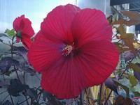 Hibiscus 'Holy Grail' PPAF (Rose Mallow)
