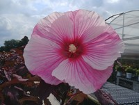 Hibiscus 'Starry Starry Night' PP27901 (Rose Mallow)