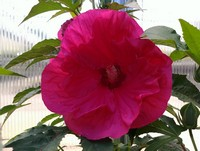 Hibiscus 'Summer in Paradise' PPAF (Rose Mallow)