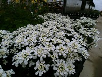 Iberis sempervirens 'Snowsation' (Candytuft)