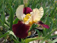 Iris germanica 'Blatant' (German Bearded Iris)