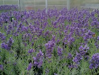 Lavandula augustifolia 'Essence Purple' (English Lavender)