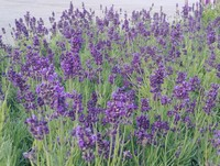 Lavandula augustifolia 'Lavance Deep Purple' (English Lavender)