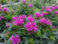 Monarda 'Pardon My Purple' PP22170 (Bee Balm)