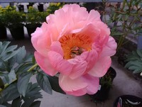 One of many Garden Peonies...