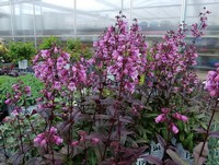 Penstemon 'Midnight Masquerade' PPAF (Beardtongue)