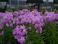 Phlox 'Fashionably Early Princess' PP28680 (Garden or Tall Phlox)