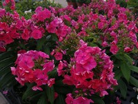 Phlox 'Flame Coral' (Garden or Tall Phlox)