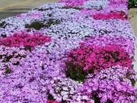 Our Creeping Phlox in their prime...